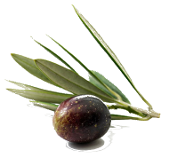 Freshly Picked Italian Olive